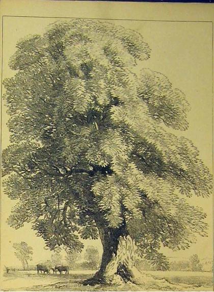 Chestnut Tree Print c. 1890